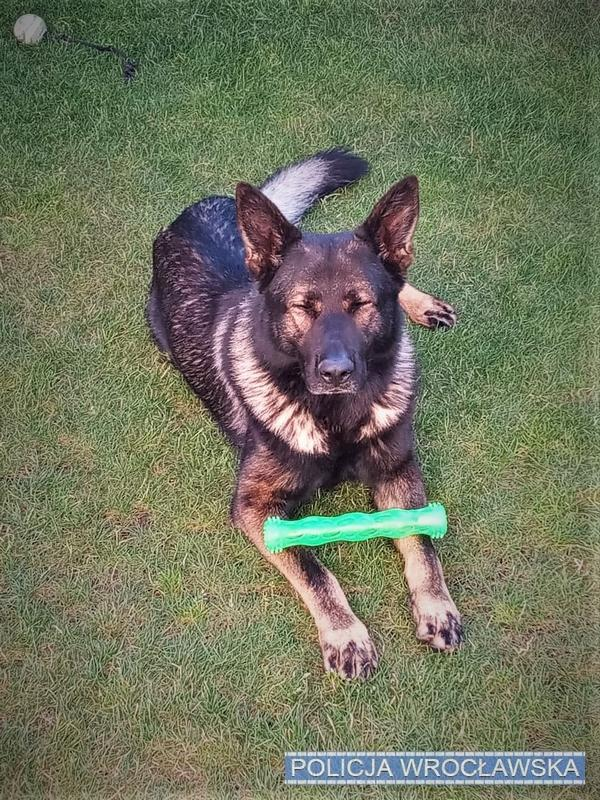 Pies doprowadził policyjnych przewodników dosprawcy kolizji